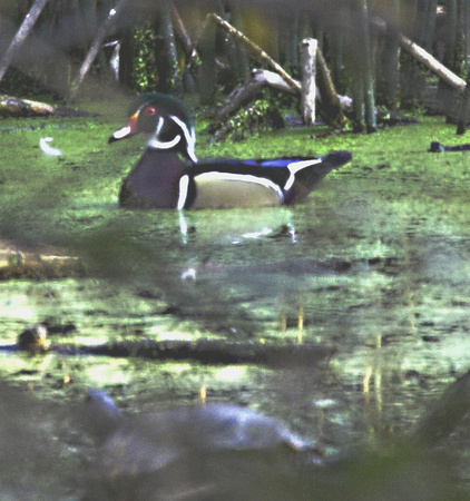 Wood Duck at a local pond. He has friend in the foreground too.